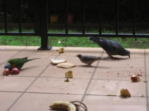 3 spesis burung liar sedang makan di koridor apartment kami di Meehan Street, Sydney.  Gambar diambil pada 27 Jun 07.