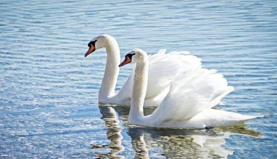 depositphotos_19843035-stock-photo-swan-couple