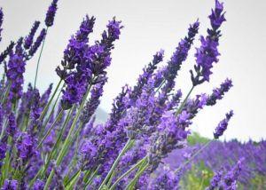Lavender. Foto hiasan.   Kredit:  lavenderexperiment.blogspot.com