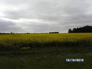 Ladang Canola